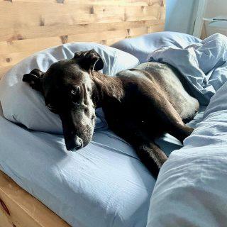Müde gerackert…dog #bardino #rescuedog #shelterdog #dogphotography #dog_features # #hundefotografie #hundeliebe #hund #tierfotografie #bestwoof #tier_fotos #lanzarote #spanienhund #bestdogever #dogsofinstagram #hunde #hundeportrait #freundaufvierpfoten #podenco #lovemydog #naturephotography #podencomix