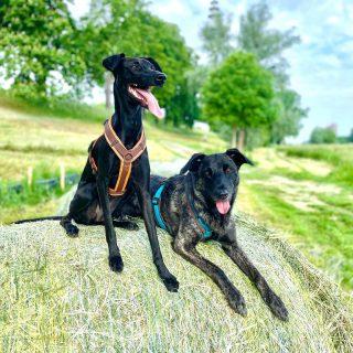 Der Sommer ist endlich da zaraverzaubert #dog #bardino #rescuedog #shelterdog #dogphotography #dog_features # #hundefotografie #hundeliebe #hund #tierfotografie #tier_fotos #lanzarote #spanienhund #bestdogever #dogsofinstagram #hunde #hundeportrait #freundaufvierpfoten #podenco #lovemydog #naturephotography #podencomix#galgo #mannheim #heidelberg #hundetraining