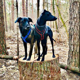 Sonntags-Waldspaziergang zaraverzaubert #dog #bardino #rescuedog #shelterdog #dogphotography #dog_features # #hundefotografie #hundeliebe #hund #tierfotografie #tier_fotos #lanzarote #spanienhund #bestdogever #dogsofinstagram #hunde #hundeportrait #freundaufvierpfoten #podenco #lovemydog #naturephotography #podencomix#mannheim #hundetraining #
