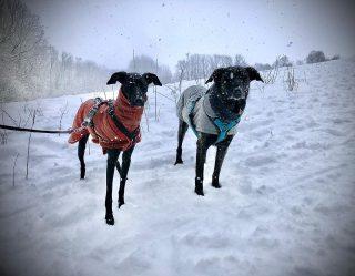 Yaiza und Zara haben am Wochenende im Schwäbischen mal richtigen Schnee erlebt. Es war faszinierend diese beiden Kanarenhunde zu erleben: sie tobten wie wild im Schnee, Yaiza jagte den kullernden weißen Bällchen hinterher und war im Glück. Nach anderthalb Stunden waren wir wieder am Auto und die Hunde wurden schnell aus den nassen Mänteln geholt und aufgewärmt. Auch wenn die Hunde gewollt hätten, ich wäre nicht länger spazieren gegangen. Denn es war trotz Mantel zu nass und zu kalt. Es waren dort viele Hunde unterwegs und wir haben fast keinen Hund getroffen, der einen Mantel trug. Mir ist das unverständlich. Unsere Haushunde, die den ganzen Tag mit uns in der Wohnung leben, entwicklen kein richtiges Winterfell mehr. Die Kurzhaarhunde, die älteren und kränklichen Hunde, die kleinen Hunde mit kurzen Beinen und die Hund ohne Unterfell müßten alle einen Mantel tragen. Dennoch sehe ich jeden Winter kaum Hunde mit Mäntel. Wie seht ihr das? Tragen eure Hunde einen Mantel? Wenn nein, warum nicht? #hundetrainerin #hundetraining #hundemantel #hundeschule #hunde #hundeimschnee #alb #bardino #podenco #podencomix #galgo #galgoespañol #galgomix #hundeglück #mehrhundehaltung #spanienhund #lanzarote #tierschutzhund