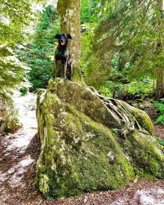 The phantastic Bardina Zara in the Black Forest #dog #bardino #rescuedog #shelterdog #dogphotography #dog_features # #hundefotografie #hundeliebe #hund #tierfotografie #bestwoof #tier_fotos #lanzarote #spanienhund #bestdogever #dogsofinstagram #hunde #hundeportrait #freundaufvierpfoten #podenco #lovemydog #naturephotography #podencomix#galgo #schluchsee #blackforest